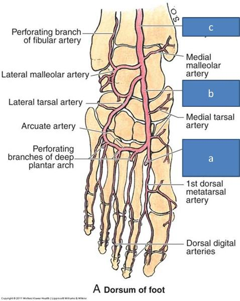 Anatomy Block Iii Foot Flashcards Easy Notecards