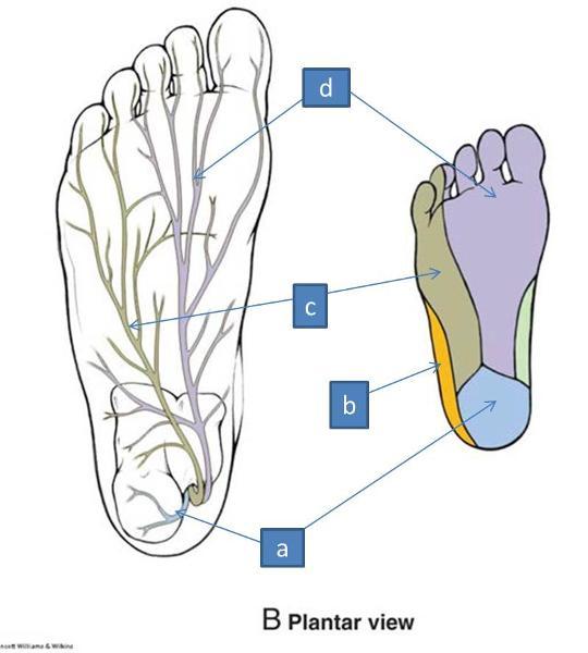 Anatomy Block III- Foot Flashcards   Easy Notecards