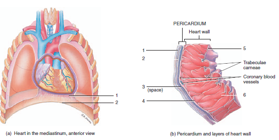 Print anatomy exam 3 flashcards easy notecards label the layers of the pericardium and heart wall ccuart Image collections