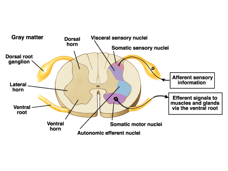 Print The Spinal Cord And Tracts Flashcards Easy Notecards