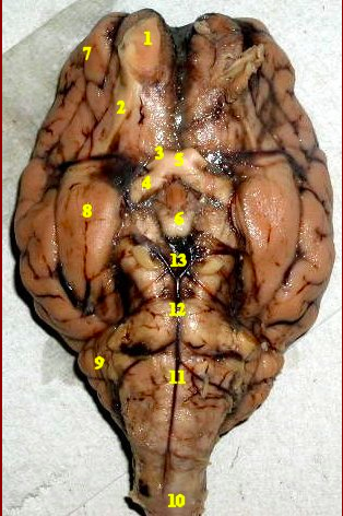 Print Lab Practical Chapter 18: Sheep Brain (cont ...