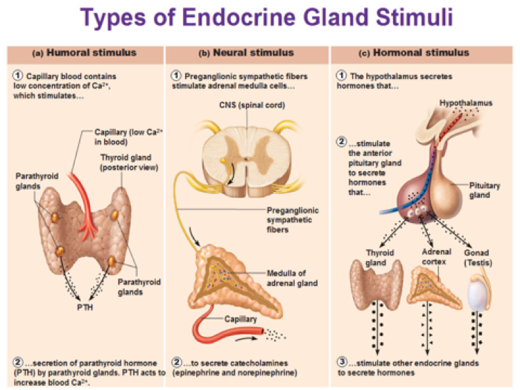 endocrine gland stimuli hormone system types hormones glands stimulus secreted hormonal humoral release neural pituitary control feedback cells messengers disorders