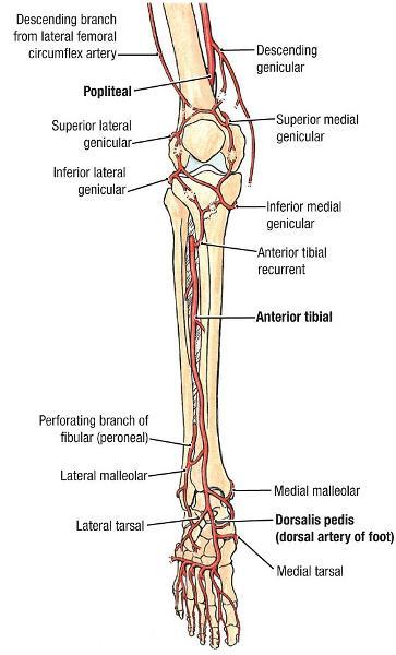 gsu blood vessels of the lower limb flashcards