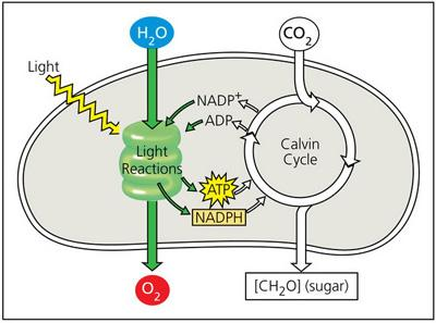 Light Reactions And Calvin Cycle Diagram