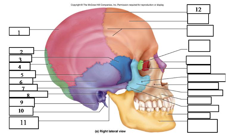 Print Bones and Bone Markings flashcards | Easy Notecards