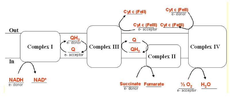 Print biochem test 4 sample questions flashcards easy notecards the following diagram represents the mitochrondrial electron transport system supply all the molecules that donate to or accept electrons from each of the ccuart Choice Image