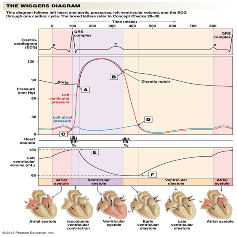 Print mammalian physiology exam 3 flashcards easy notecards the wiggers diagram ccuart Gallery