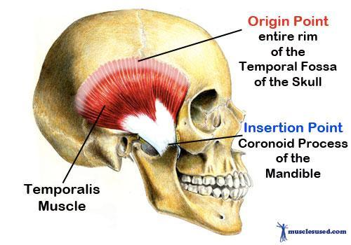 Print MYOLOGY: Head & Neck Muscles flashcards | Easy Notecards