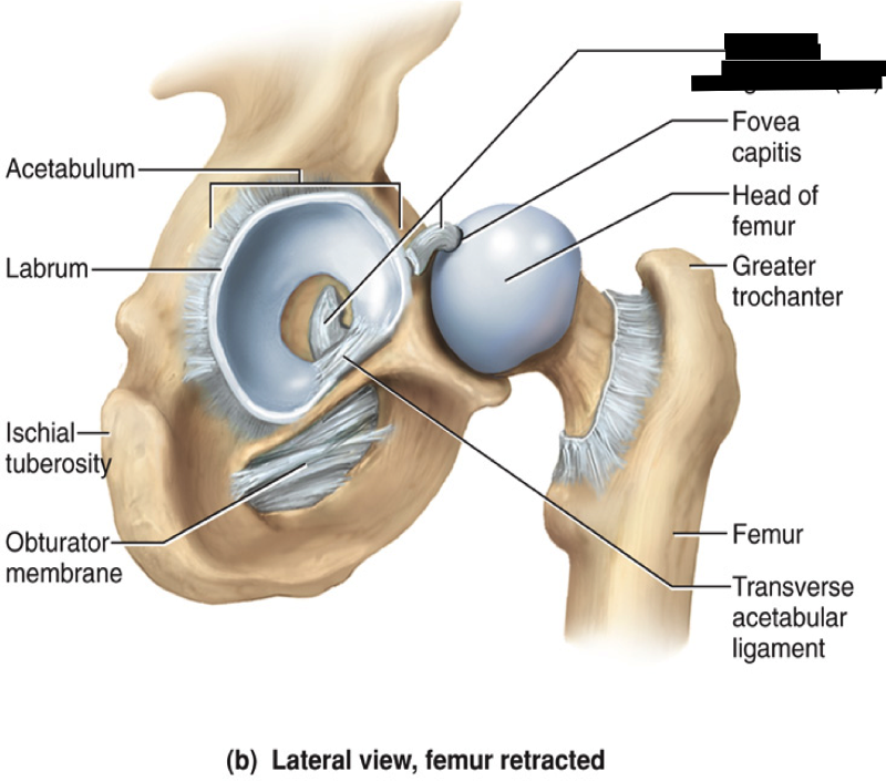 Ziemlich Hip Labrum Anatomy Zeitgenössisch - Menschliche Anatomie ...