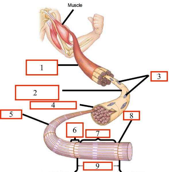 Print Muscle Anatomy Quiz Flashcards Easy Notecards