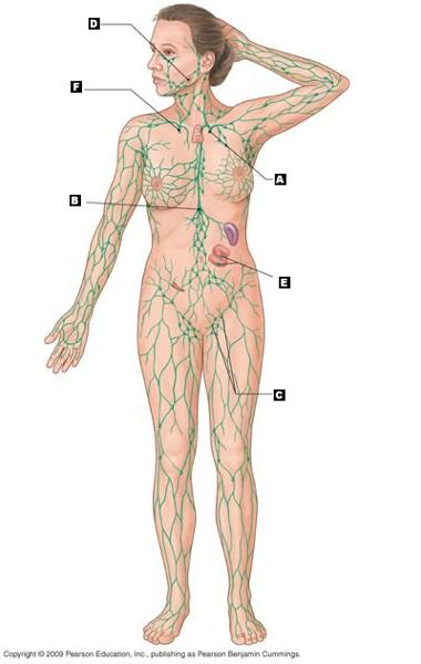 Print Chapter 22 Lymphatic System Immunity Flashcards Easy