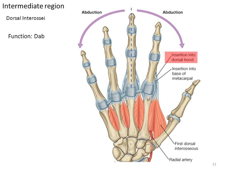 Muscles Of The Forearm And Hand Flashcards Easy Notecards