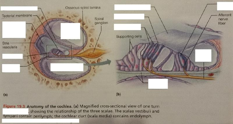 Activity 1 Anatomy Of The Ear And Identifying Structures Of The Ear