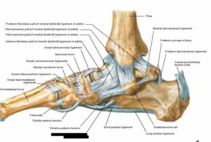 Print Lower Extremity Joints flashcards | Easy Notecards