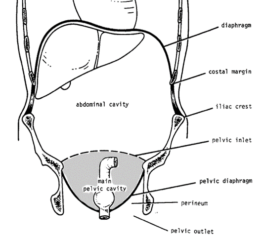 true and false pelvis diagram 73811