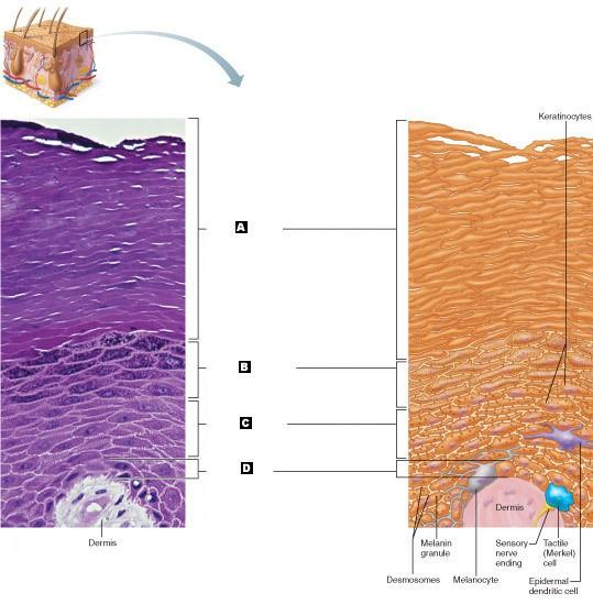 Learning Objectives   The Integumentary System