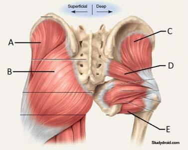 Gsu Muscles Of The Hip And Thigh Flashcards Easy Notecards