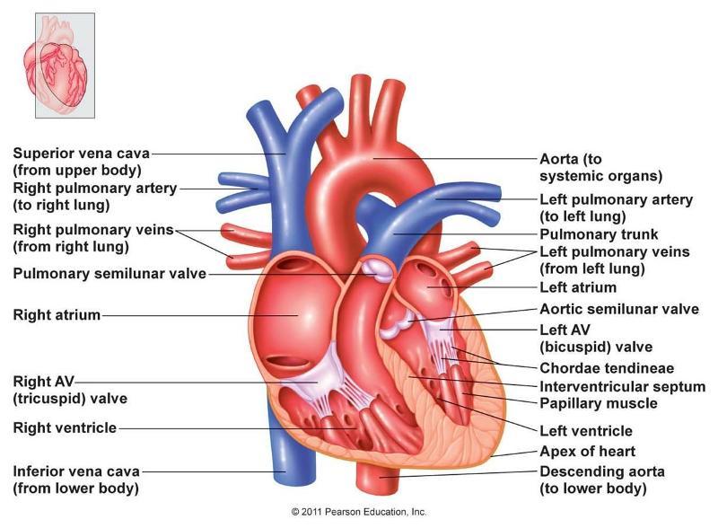 Print Anatomy of the hear t- week #3 flashcards | Easy Notecards