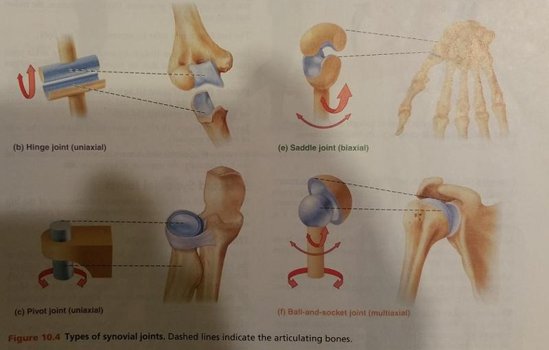 Print Activity 5 Types Of Synovial Joints And Demonstrating