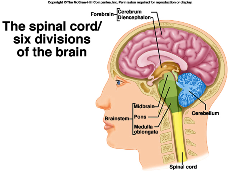 Nervous system Flashcards | Easy Notecards
