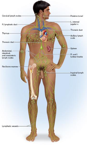 Print Lymphatic System flashcards | Easy Notecards