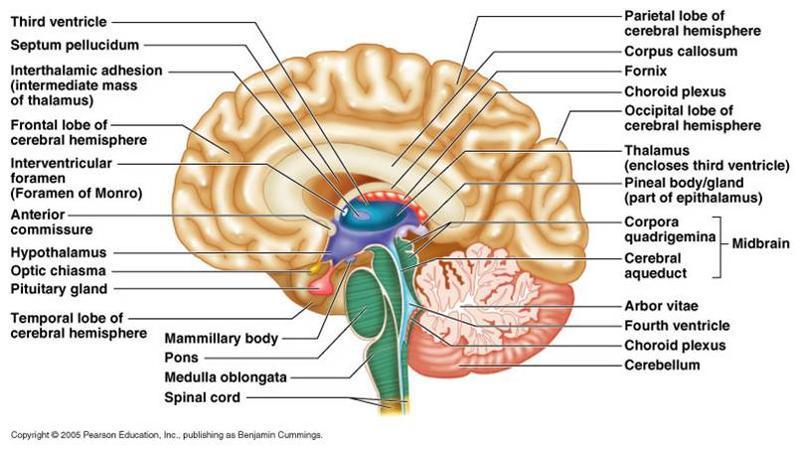 Nervous system Flashcards | Easy Notecards