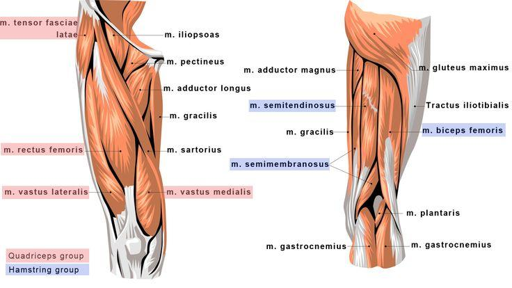 Print GSU Muscles of the hip and thigh flashcards | Easy