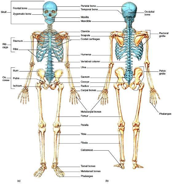 bones in a adult human body wreckage