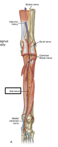 Print Gsu Nerves Of The Lower Limb Flashcards Easy Notecards