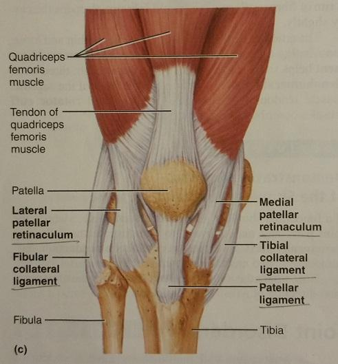 Print Activity 6: The Knee Joint flashcards   Easy Notecards