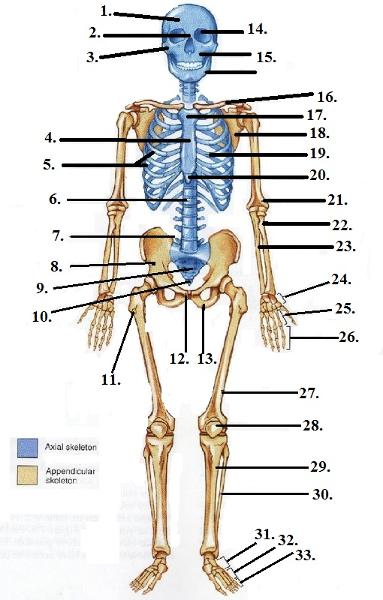 Print HESI A2- Anterior Skeleton (Figure 7-4 adjusted for notes ...