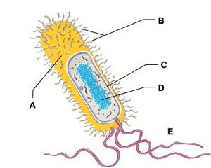 Chapter 6 tour of the cell mastering ap biology flashcards easy the dna containing region of this bacterial cell is indicated by the letter ccuart Choice Image