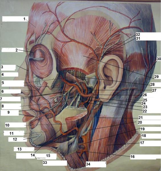 print egzamin praktyczny z anatomii