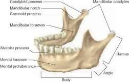 print exercise 9 flashcards | easy notecards base of mandible diagram stages of osmosis diagram