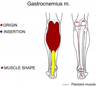 Gastrocnemius Muscle Origin And Insertion Muscles and their func...