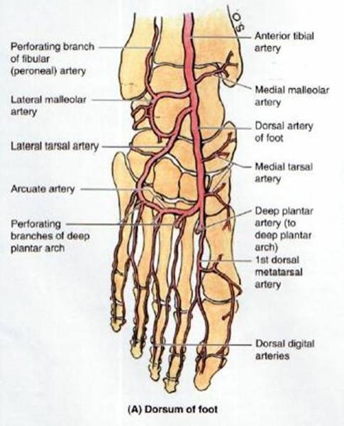 GSU Blood Vessels Of The Lower Limb Flashcards