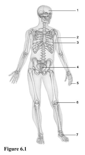 Print Chapter 6 Bones and Skeletal Tissue flashcards | Easy Notecards