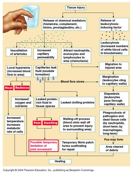 Print Ch21 A P Immune System flashcards   Easy Notecards
