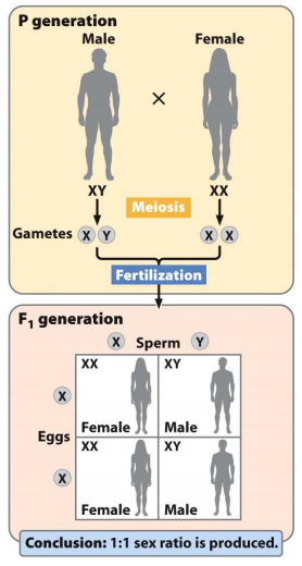 chromosomal system of sex determination in ants and bees in Montana