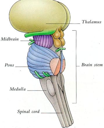 Anatomy of brainstem