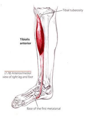print gsu muscles of the leg and foot flashcards | easy notecards, Human Body