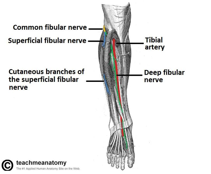 gsu muscles of the leg and foot flashcards