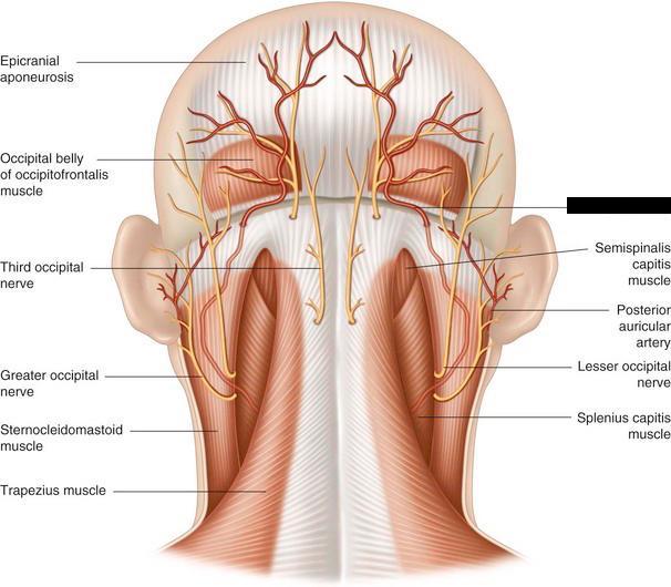 Lesser occipital nerve anatomy