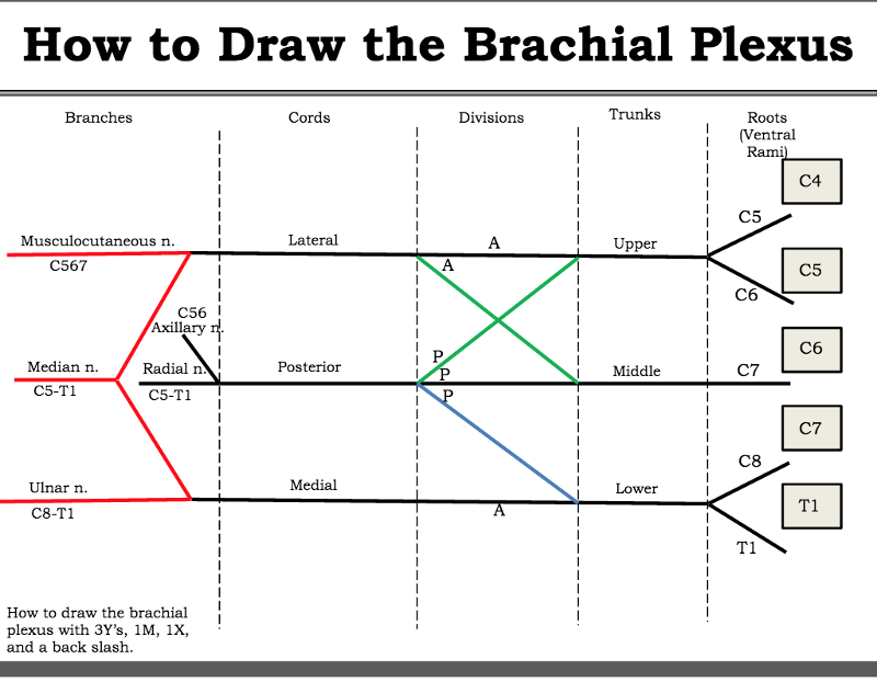 how to draw brachial plexus pdf