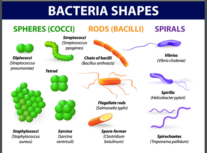coccus bacteria diagram - photo #3