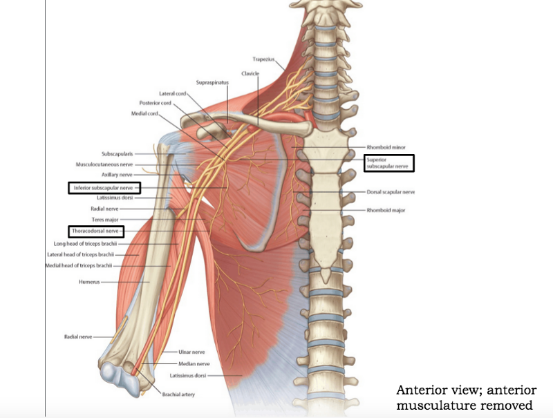 Nerves of the Upper Limb Flashcards | Easy Notecards