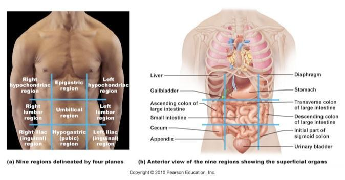 Body Cavities And Planes Flash Cards as well 30171 additionally 7C 7C  5Estuedeli 5E  7Creto 7Cmedizin 7Ckdb 7Ccontent 7Cmedizin 7Cneuro 7CHirnnerven Dateien 7CHirnstamm2 5E further Body Orientation And Direction Body Planes And Sections And Body Cavities Flash Cards further Anatomical Images. on nine major organs in the spinal cavity
