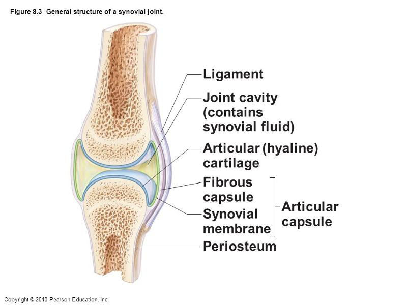12 Different Types of Synovial Joints