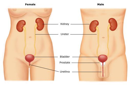 Image result for male and female urethra