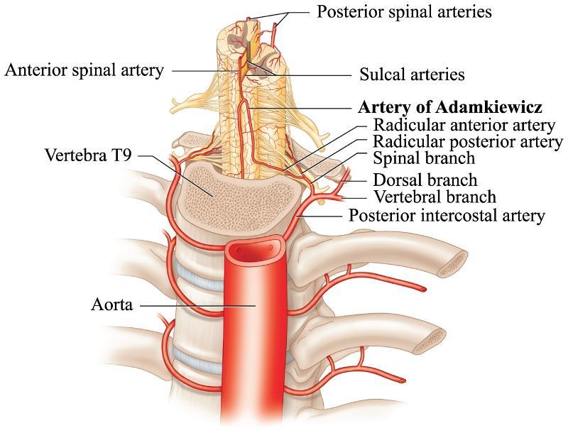 Lumbar artery anatomy